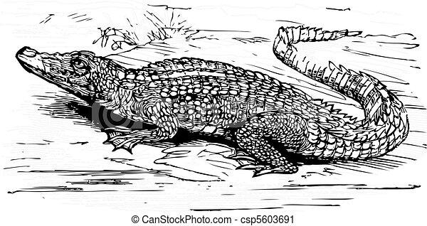 Saltwater crocodile engraved illustration - csp5603691