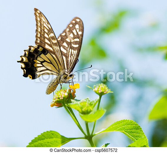 Colorful swallowtail butterfly flying and feeding on flowers - csp5607572