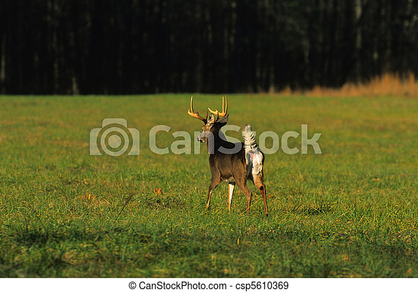 Stock Photographs of Scared Whitetail - a whitetail buck ...