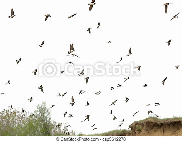 Sand Martin flock of birds isolated - csp5612278