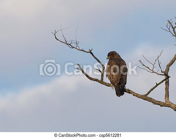 Common Buzzard, Buteo buteo - csp5612281