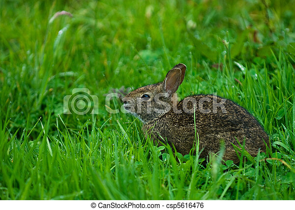 hare in green grass - csp5616476
