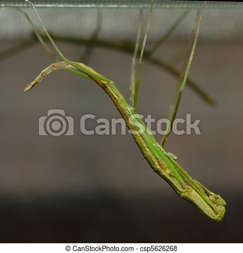 Molting stick insect - csp5626268