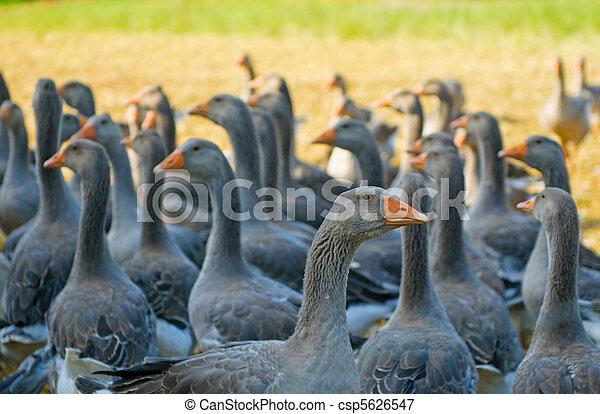 perigord geese - csp5626547