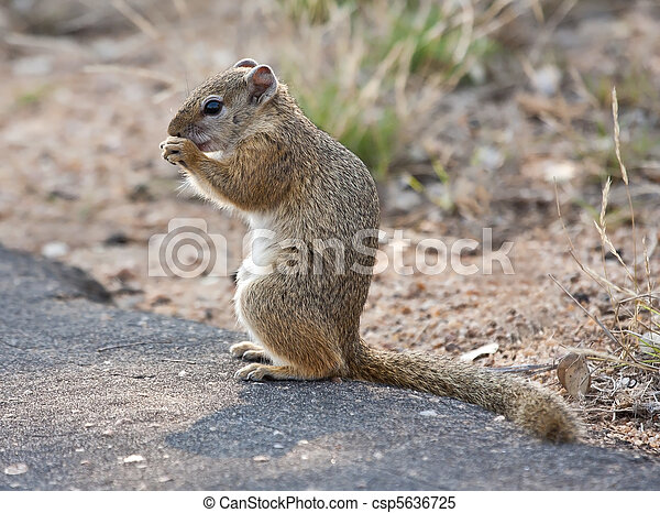 Squirrel sitting on a tar road eating seeds - csp5636725
