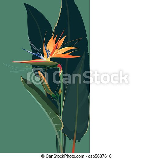 Bird of paradise flower - csp5637616