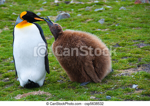 King Penguin Feeding Chick - csp5638532