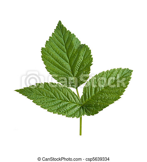 Raspberry Leaf isolated on white - csp5639334