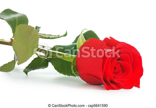 バラ, 白, 隔離された, 背景, 赤 - csp5641590