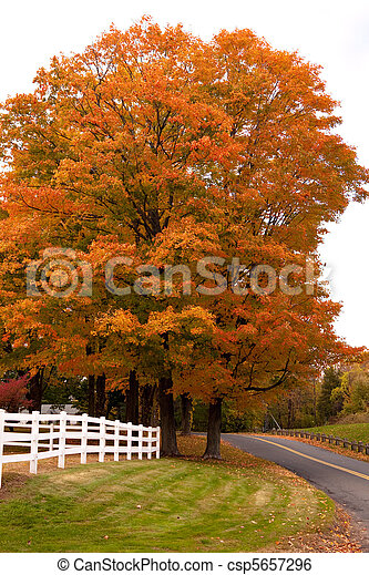 Vibrant Fall Foliage Maple Tree - csp5657296