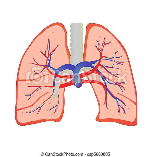 Clipart Vektor von menschliche, lunge - vektor, abbildung ...