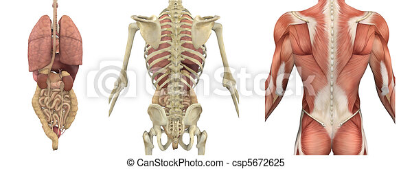 Anatomical Overlays of the Torso - Backside - csp5672625