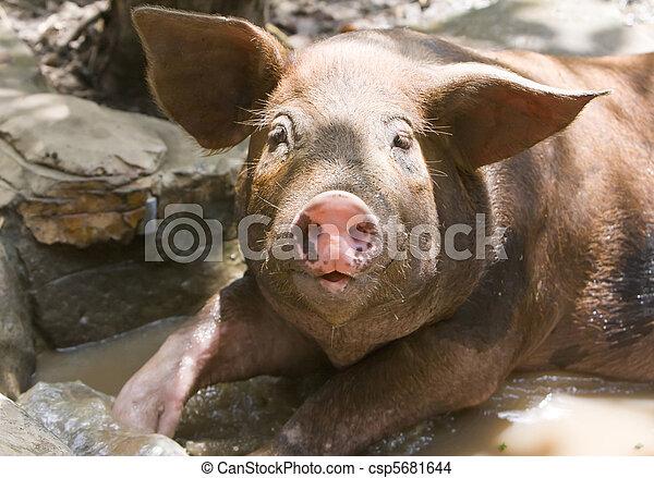 pig - csp5681644