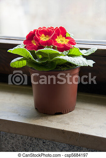 Red flower in the pot on a window sill - csp5684197