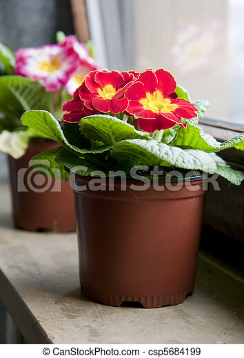 Red flower in the pot on a window sill - csp5684199