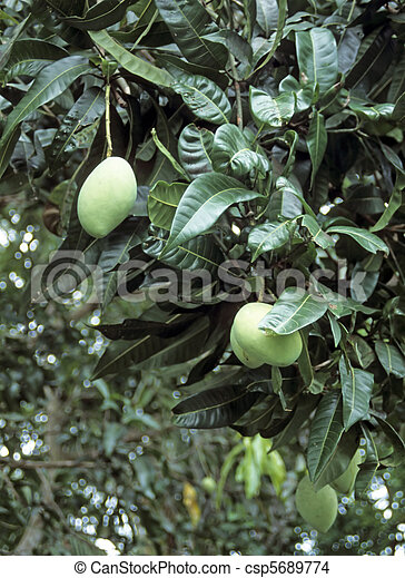 mangue, arbre,  (mangifera,  indica) - csp5689774