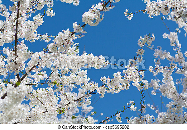 Japanese Cherry Tree Bloom Spring  - csp5695202