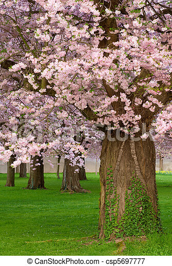 Gorgeous cherry trees blossoming - csp5697777