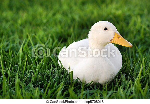 Cute white duck on a lawn - csp5708018