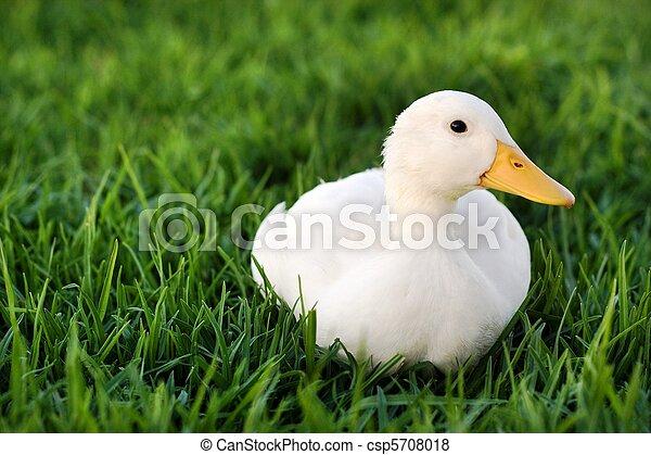 Cute white duck on a lawn - csp5708018