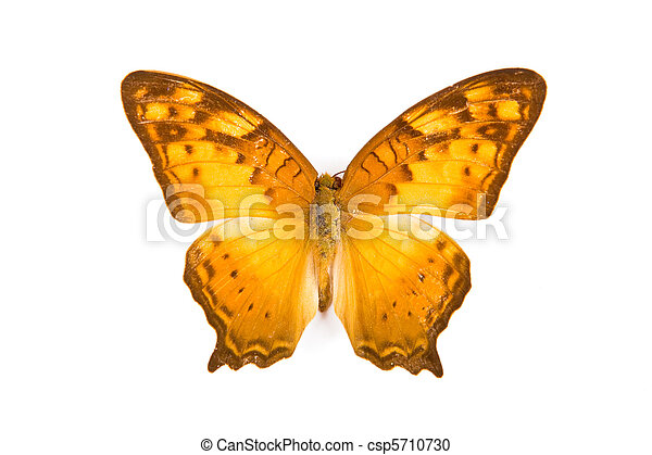 fjäril, brun, luffare, isolerat, gul, sinha - csp5710730