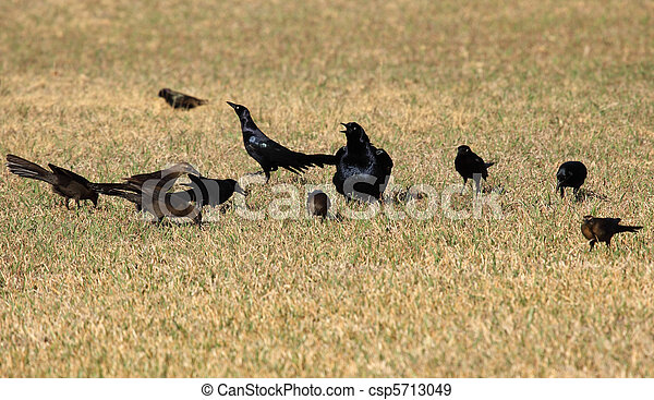 Grackles - csp5713049