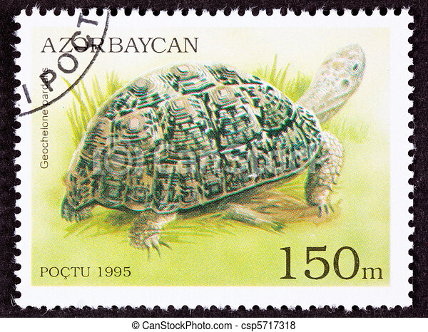 Leopard Tortoise, Geochelone pardalis in a marshy environment.  Ranges from Sudan to South Africa. - csp5717318