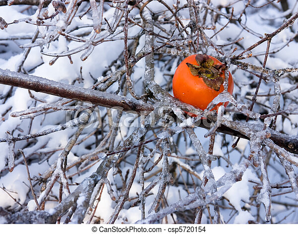 persimmon in captivity of the ice branches