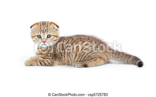 Striped Scottish kitten fold pure breed lying isolated - csp5725783