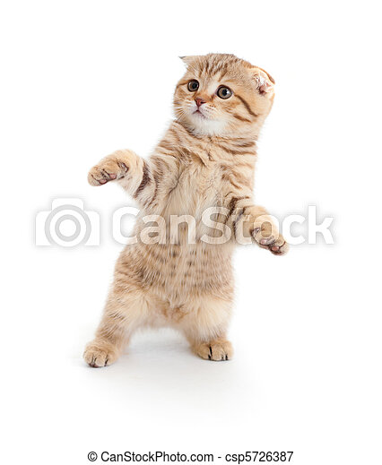 Striped Scottish kitten fold pure breed dancing isolated - csp5726387