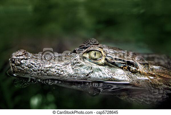 Swimming Crocodile's Head Closeup - csp5728645