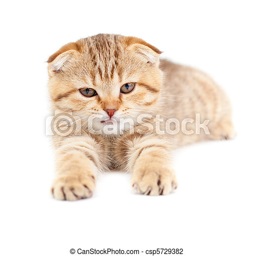 Striped Scottish kitten fold pure breed lying isolated - csp5729382