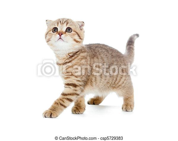 walking kitten or cat  striped Scottish fold isolated studio shot - csp5729383