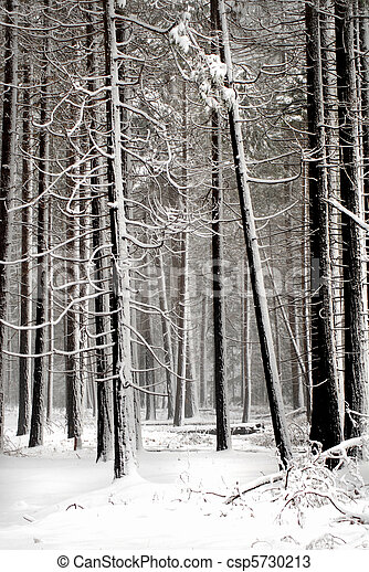 Snow covered pines in a quiet forest setting in Yosemite Nationa - csp5730213