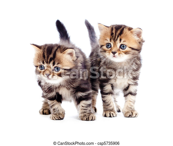two kitten pure breed striped british isolated - csp5735906