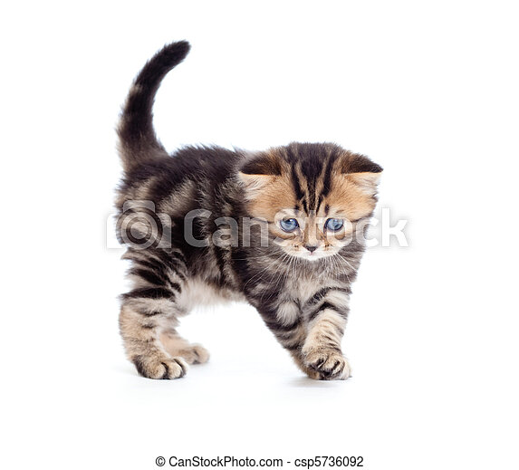 tabby british little kitten looking down isolated - csp5736092