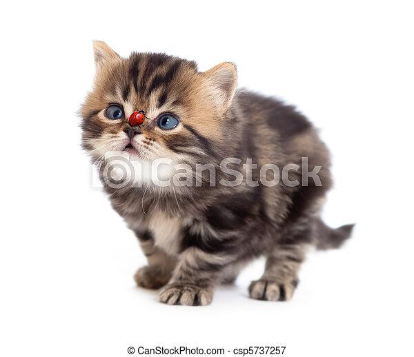 tabby kitten and ladybird on on nose isolated - csp5737257