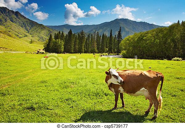 Grazing cow - csp5739177