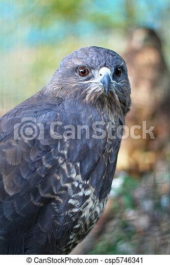 The portrait of predator buzzard - csp5746341