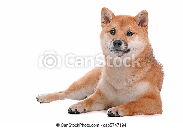 Shiba Inu dog in front of a white background - csp5747194