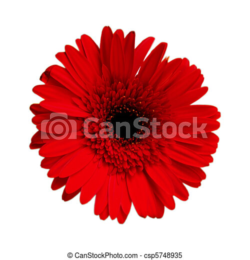 Crimson red gerbera - csp5748935