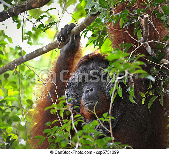 The adult male of the Orangutan. - csp5751099