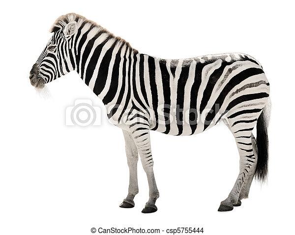 Gorgeous zebra on white background - csp5755444