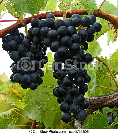 Red grapes on the vine waiting to be harvested. - csp5755506