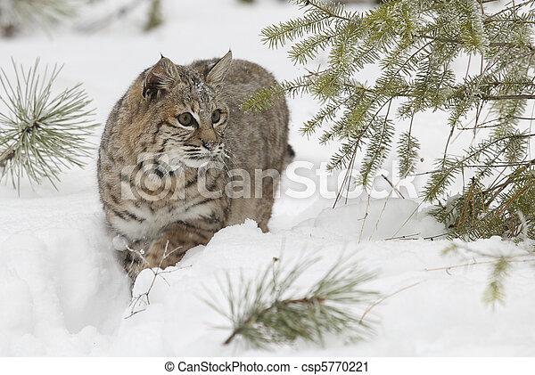 Bobcat in deep white snow - csp5770221