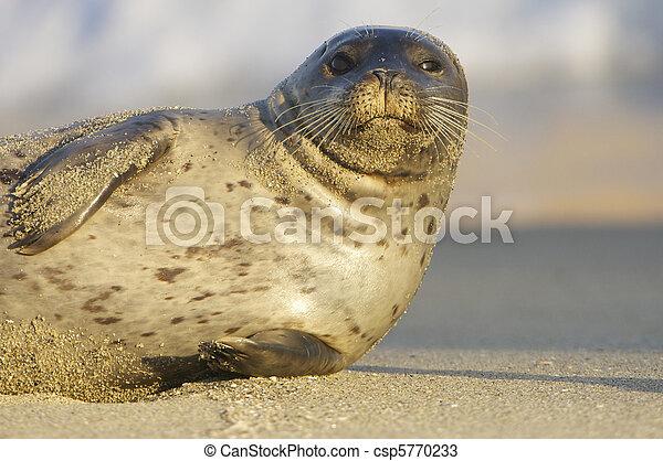 Endangered Harbor Seal - csp5770233