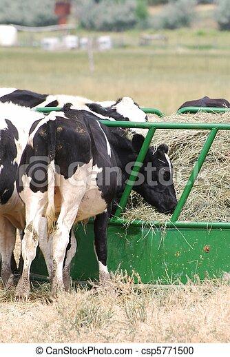 Dairy Cattle - csp5771500