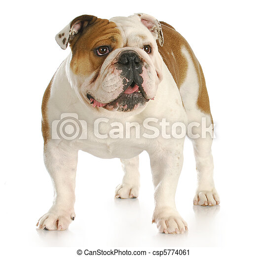 english bulldog standing - csp5774061