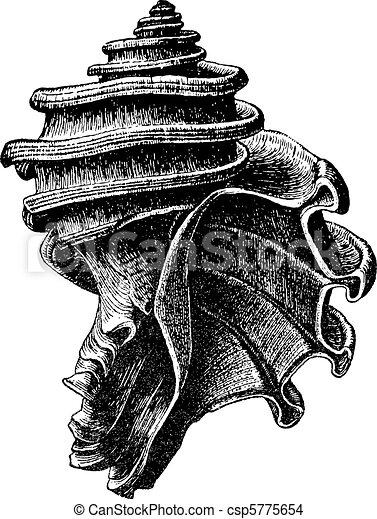 Ecphora gardnerae - csp5775654