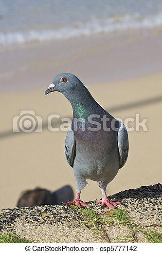 Common Pigeon on Beach - csp5777142